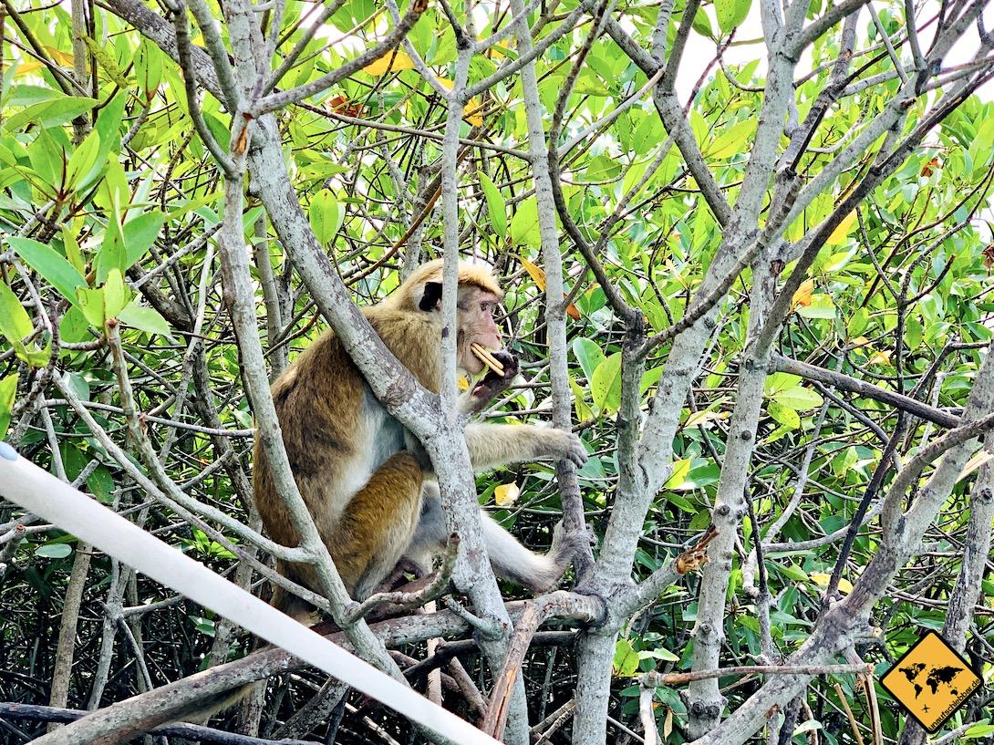 Affe Monkey Forest Mangroven Negombo Lagune