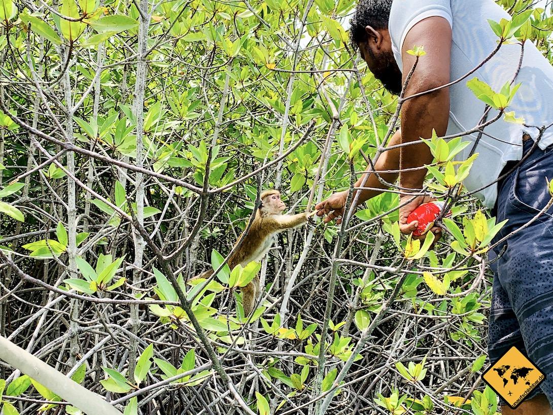Affe Negombo Lagune Sri Lanka