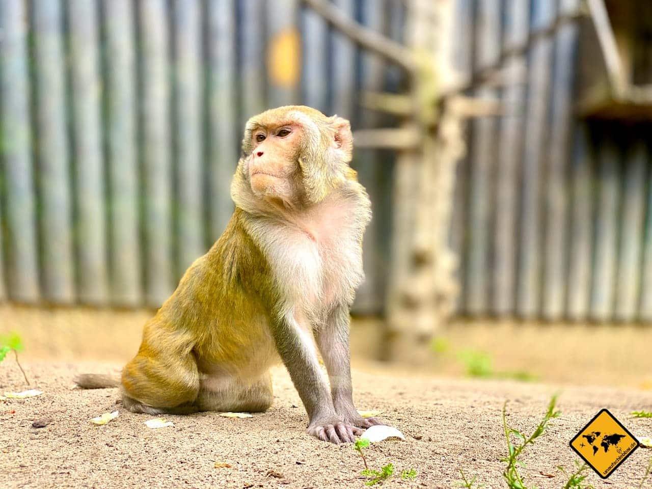 Affe Tierpark Riesa Landkreis Meißen
