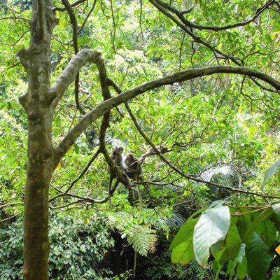 Affen leben in Affenwald von Ubud in natürlicher Umgebung