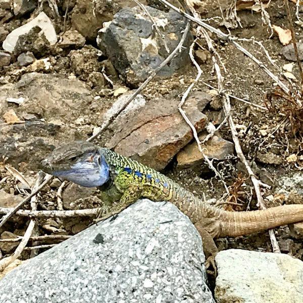 Auch Geckos wissen das Anaga Gebirge als Lebensraum zu schätzen