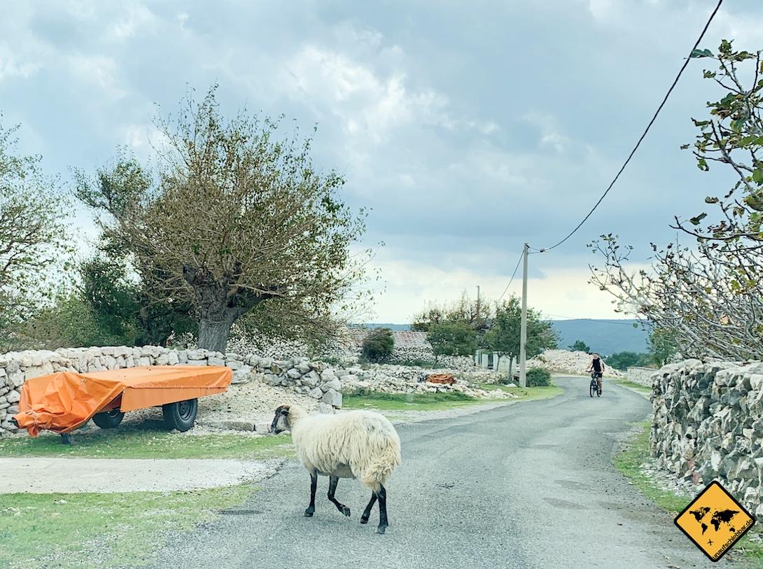 Anfahrt Biserujka Špilja Strasse Schaf