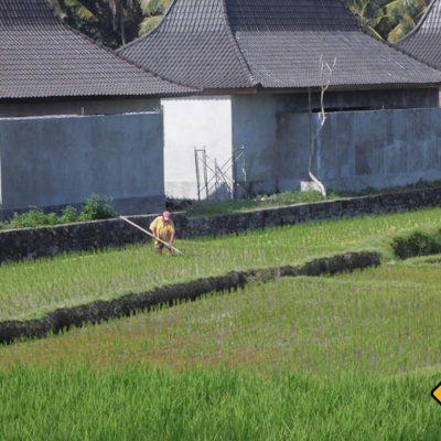 Arbeit auf dem Reisfeld Ubud