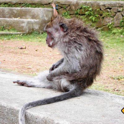 Auch Affen gehen tropischen Bali ab und an mal duschen