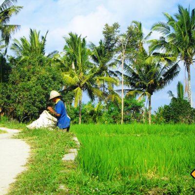 Auf einer Bali Rundreise wirst du einheimische Balinesen bei der Reisernte beobachten koennen