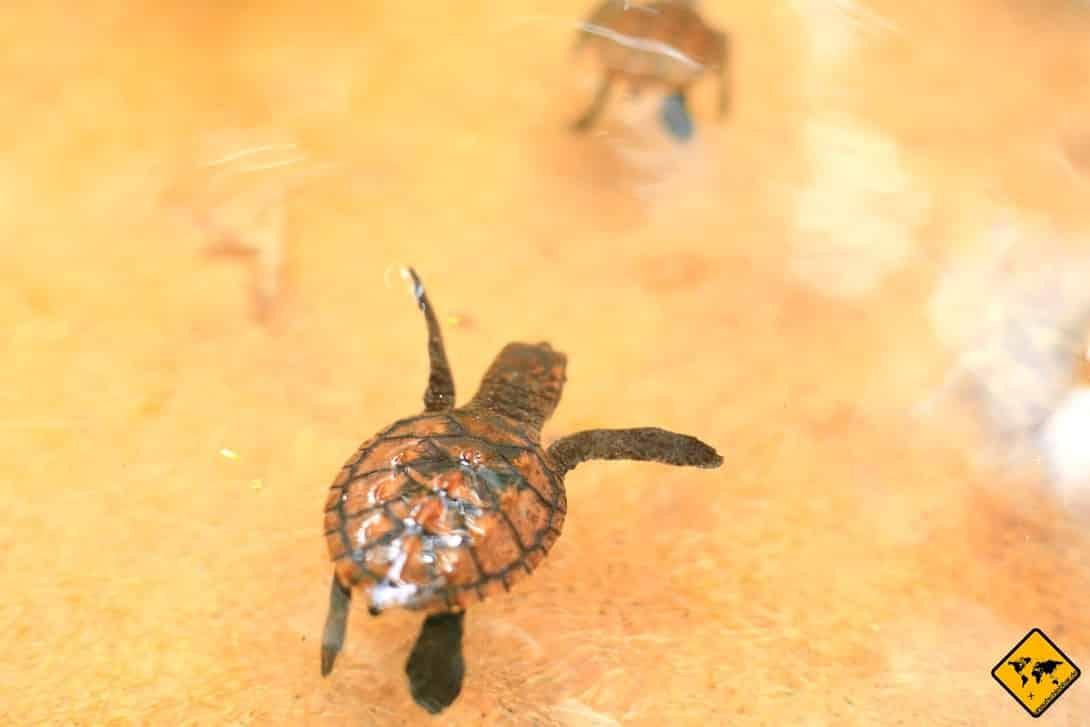 Baby Schildkröte Gili Inseln Aufzuchtstation