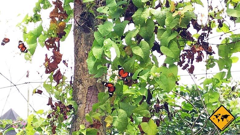 Bali Butterflies