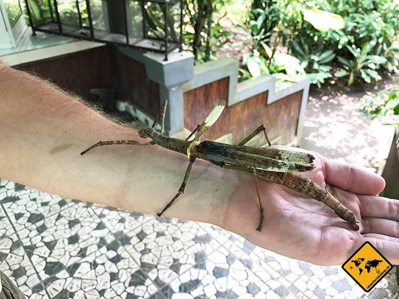 Bali Butterfly Park Riesen-Heuschrecke