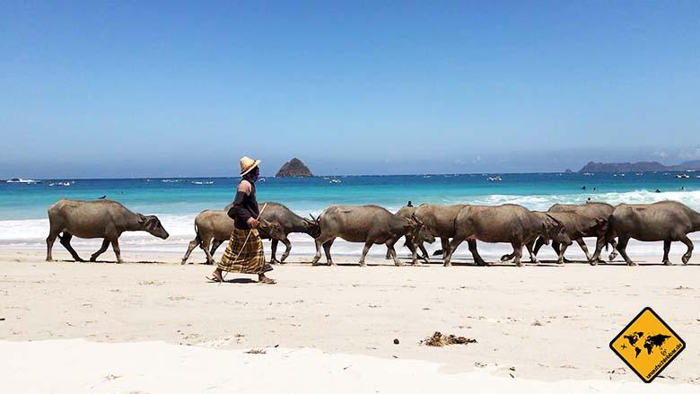 Bali Lombok Rundreise Kuta Büffel