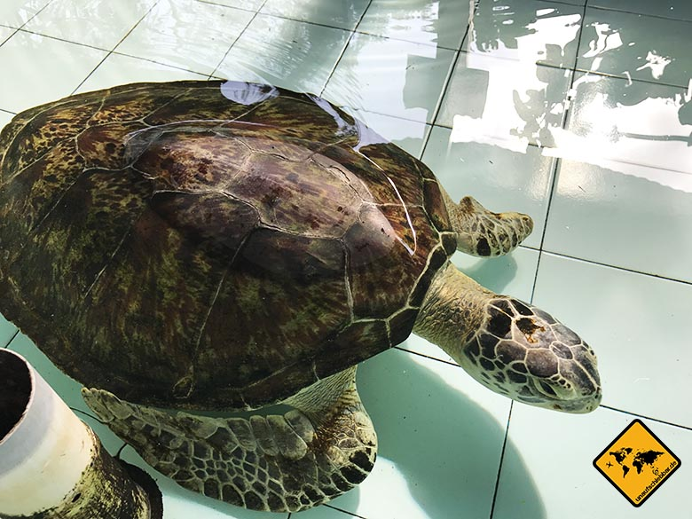Bali Schildkröte Flossen-Verletzung
