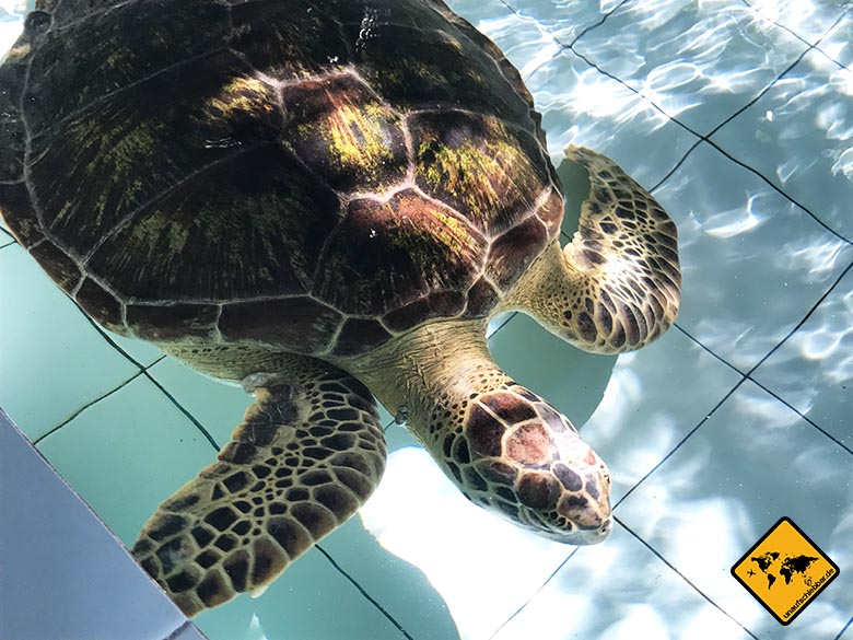 Bali Schildkröte Tumor