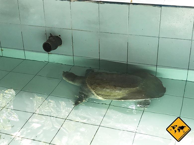Bali Schildkröten Schutzstation Arten