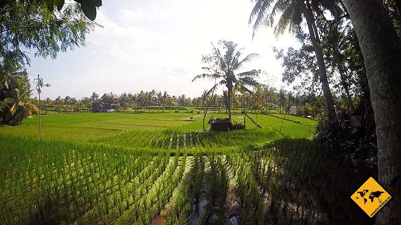 Bali Sehenswürdigkeiten top 10 Ubud Reisfelder