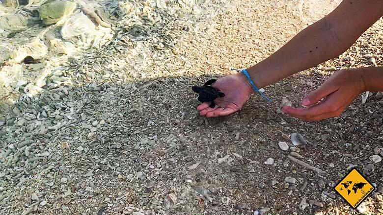 Turtle Conservation Bali freilassen Meer