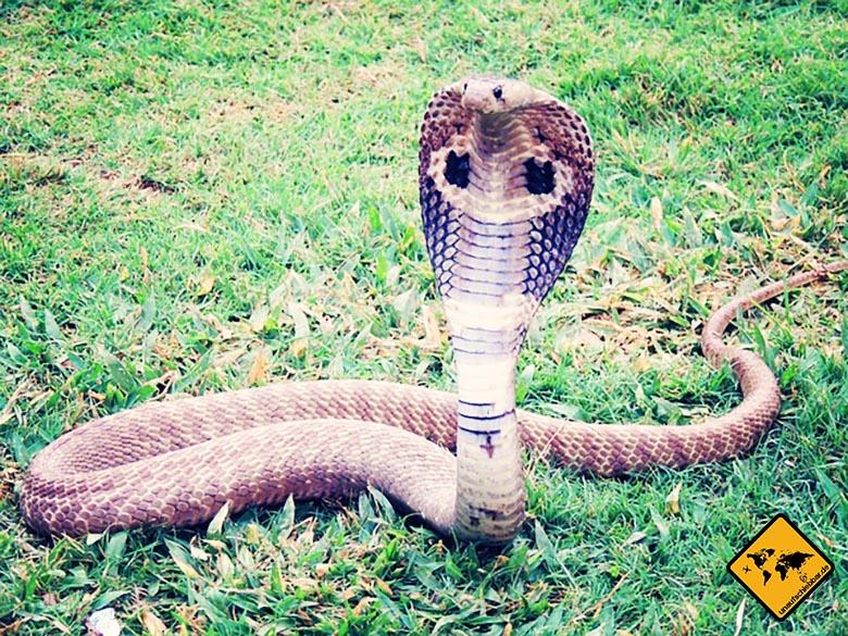 Bali Urlaub gefährlich Giftschlange