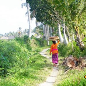 Balinesische Frauen tragen die Reisernte auf dem Kopf über die Felder