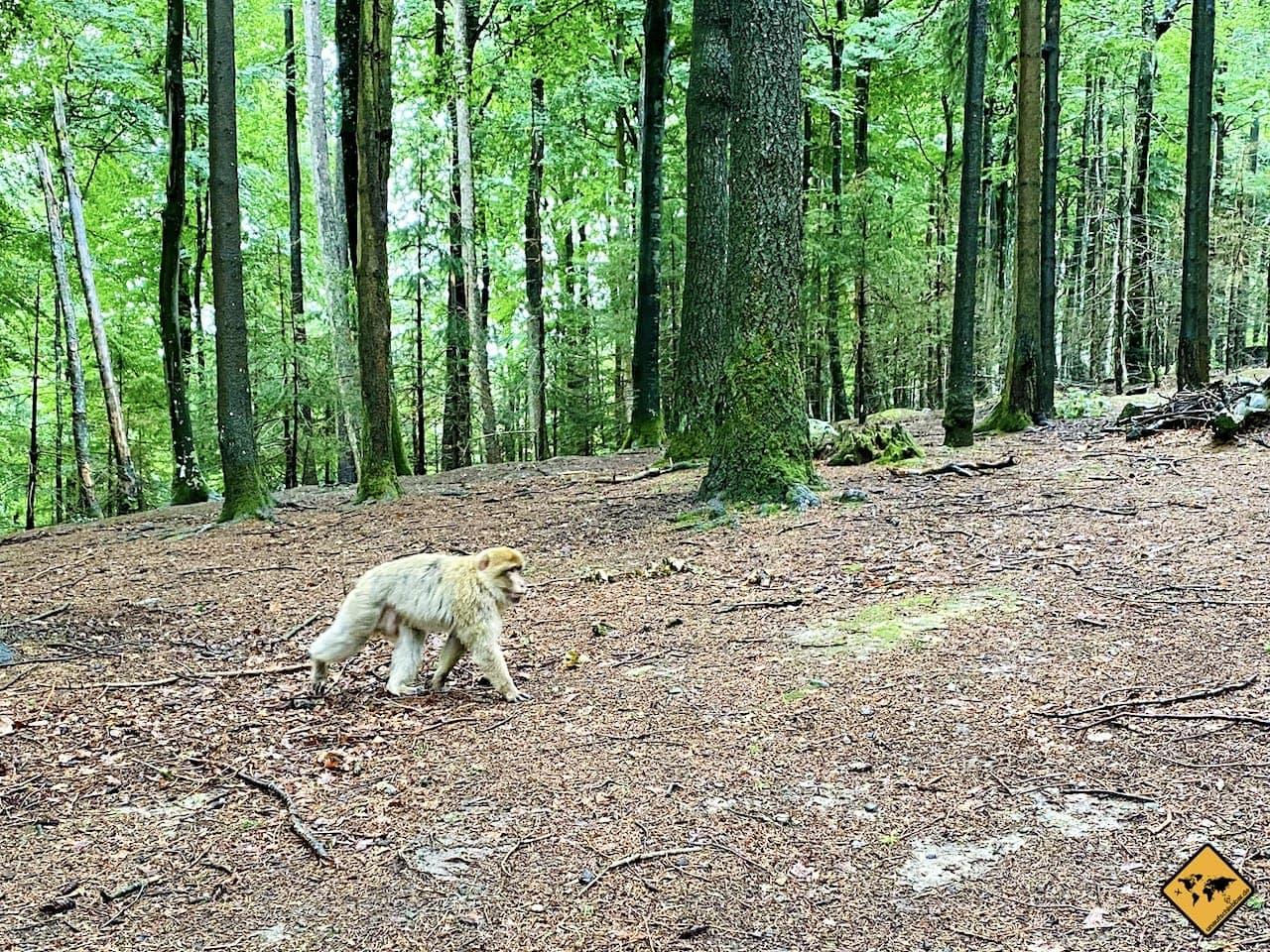 Berberaffe Wald Salem