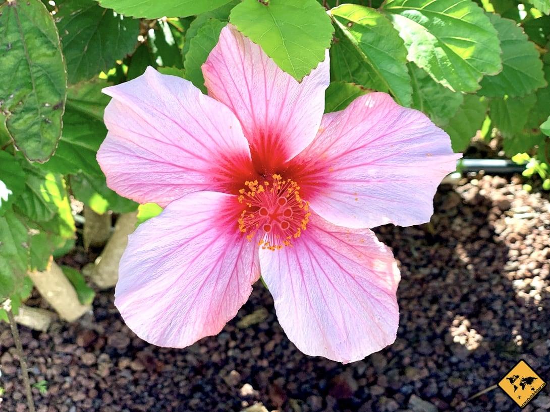 Betancuria Blume