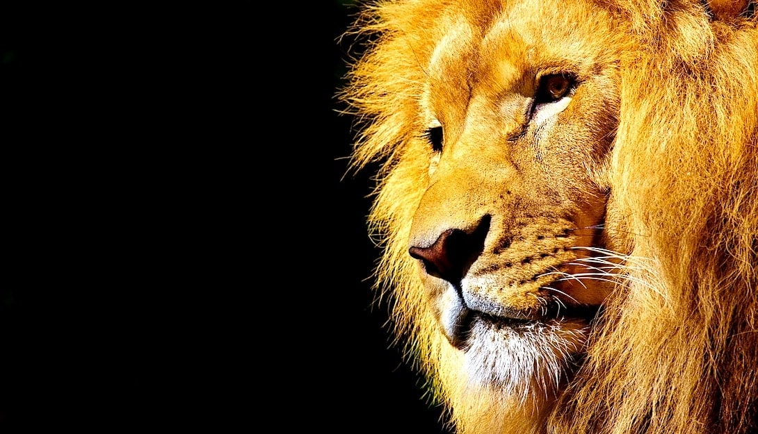 Big Five Südafrika Löwe