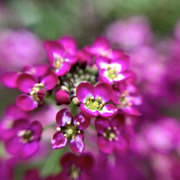 Auch lila-pinke Kornblumen kannst du im botanischen Garten von Puerto de la Cruz aus der Nähe anschauen