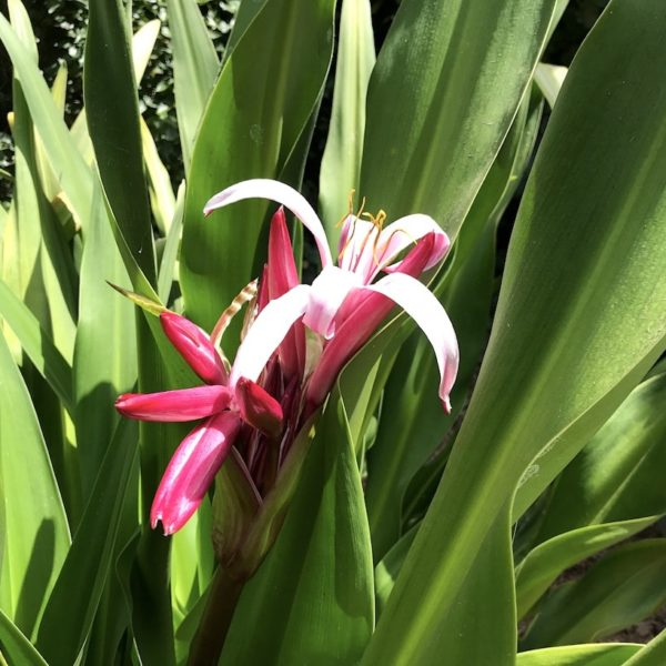 Botanischer Garten Santa Cruz Blume