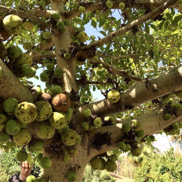 Botanischer Garten Santa Cruz Teneriffa Baum
