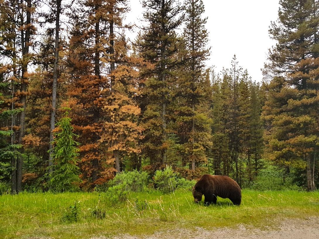 Braunbär Jasper Nationalpark Kanada
