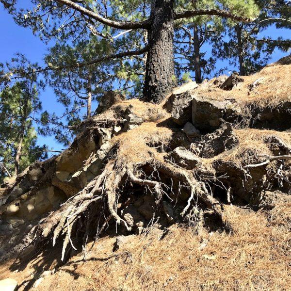 Chinyero Baum Wurzeln