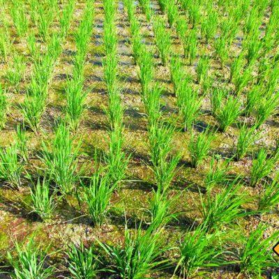Das Anschauen eines Reisfeldes ist ein absolutes Muss einer jeden Bali Rundreise