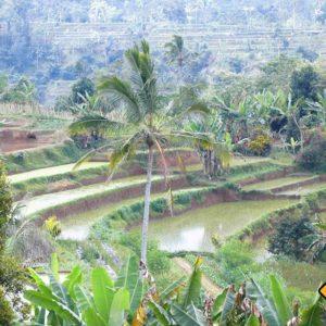 Der Besuch von Reisterassen zählt zu den Top Bali Rundreise Tipps