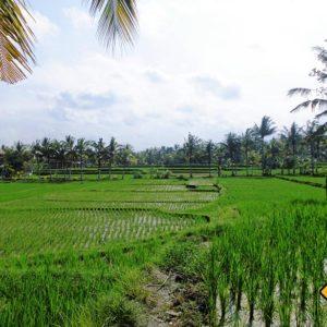 Die Reisfelder in Ubud gehören zu den Top Bali Rundreise Tipps