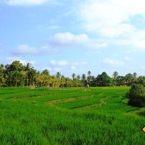 Die Schönheit der Reisfelder in Ubud sollte dir auf deiner Bali Rundreise auf keinen Fall entgehen