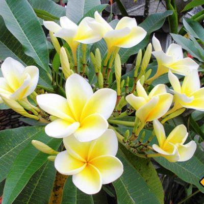 Die wunderschönen Bali Blumen wirst du an vielen Orten deiner Bali Rundreise entdecken