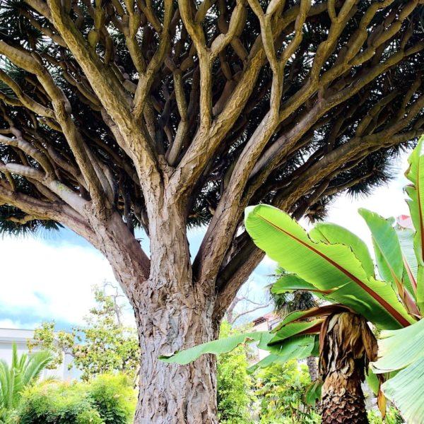 Drachenbaum Hijuela del Botánico