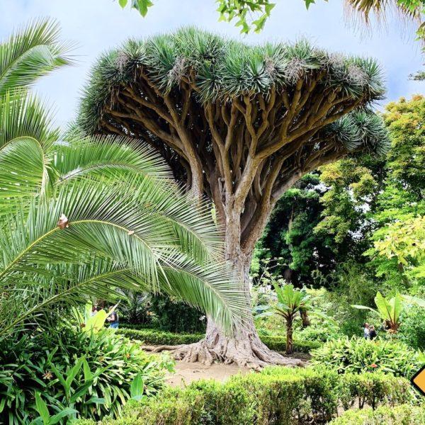 Drachenbaum botanischer Garten La Orotava