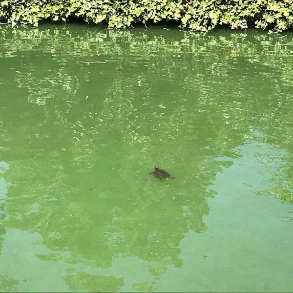Auch diese kleine Schildkröte lebt im Drago Park auf Teneriffa