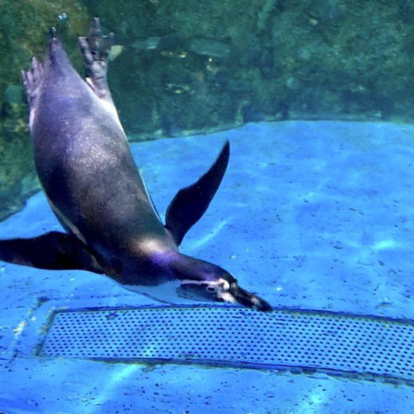Dubai Aquarium Pinguin