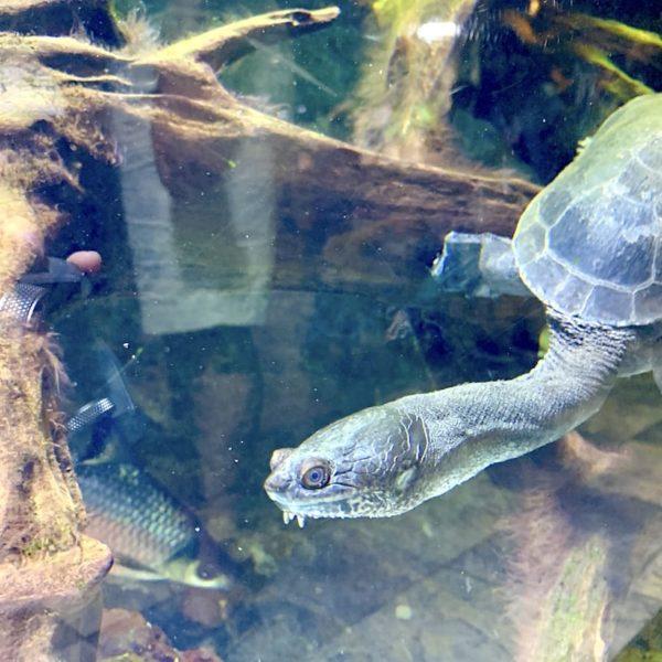 Dubai Aquarium Schildkröte
