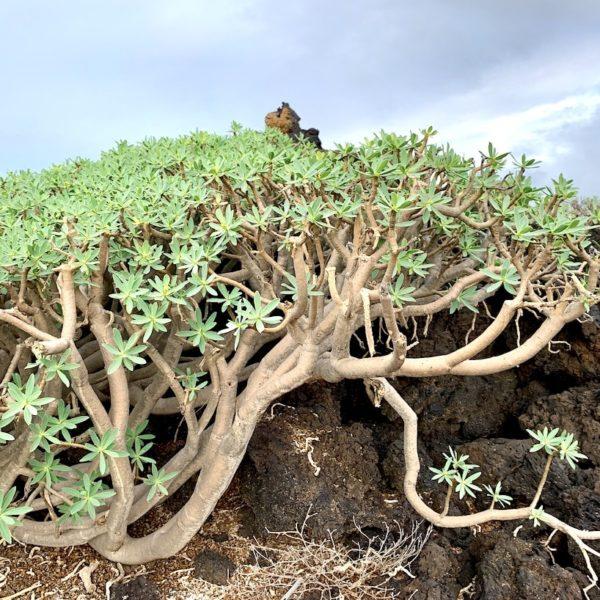 El Golfo Lanzarote Wanderung Pflanzen