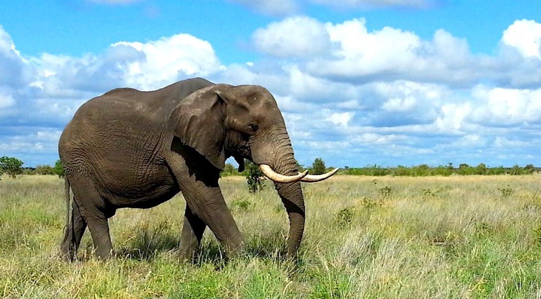 Elefant Krüger Nationalpark Sicherheit in Südafrika