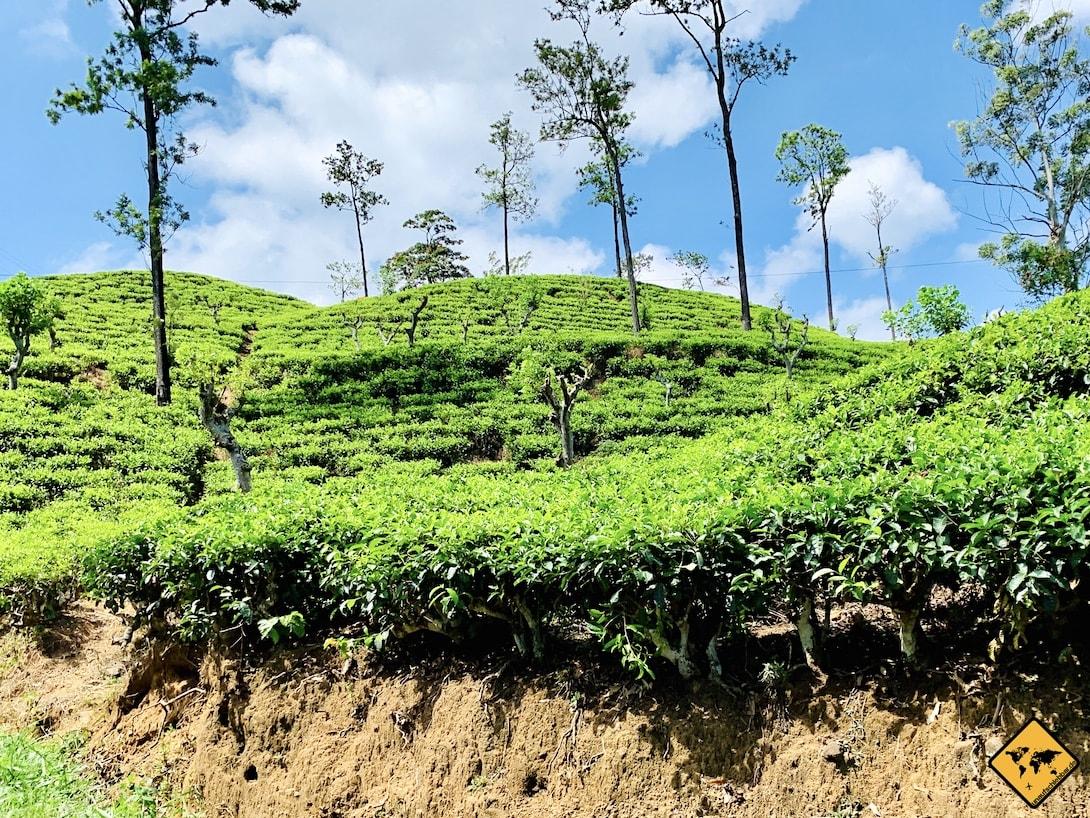 Ella in Sri Lanka Teeplantagen