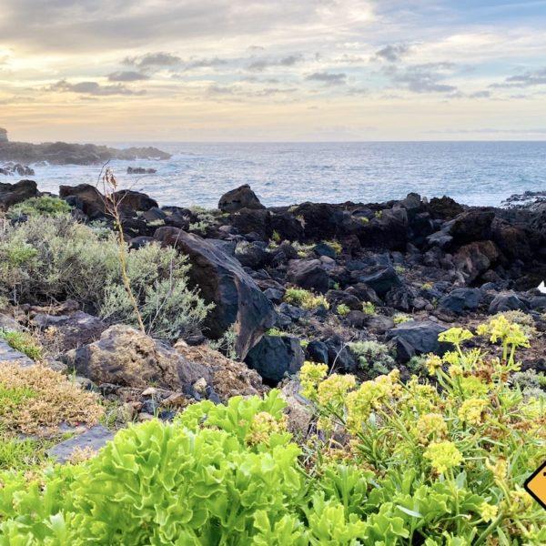 Farbkontrast Lava-Küste Pflanzengrün