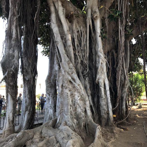 Feigenbaum Icod de los Vinos Wurzeln