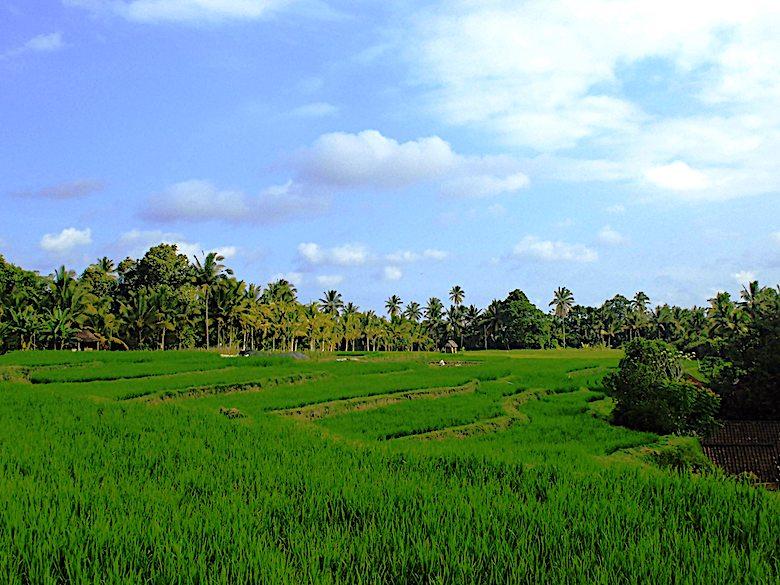 Flitterwochen Bali Reisfelder