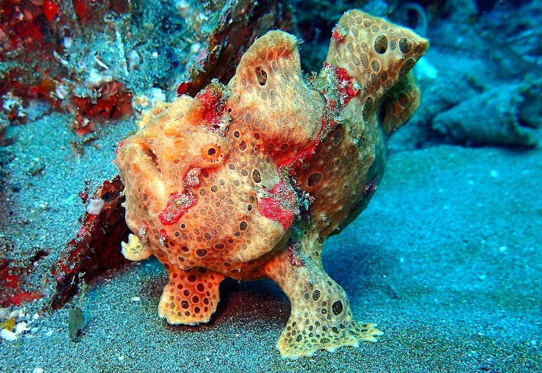 Froschfisch Bali tauchen