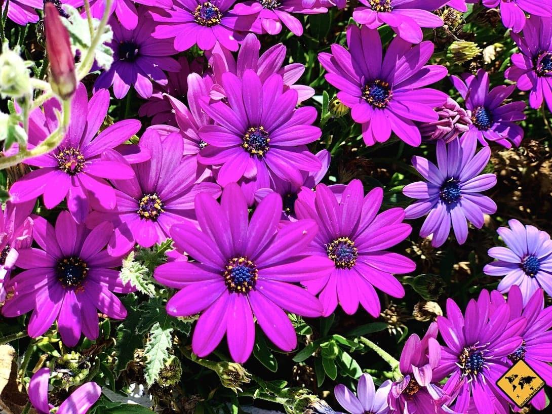 Frühling Blumen Teneriffa Vilaflor