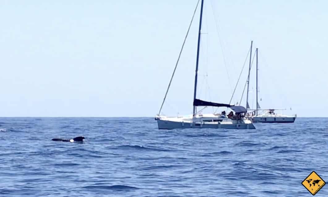 Grindwal Teneriffa Whale Watching