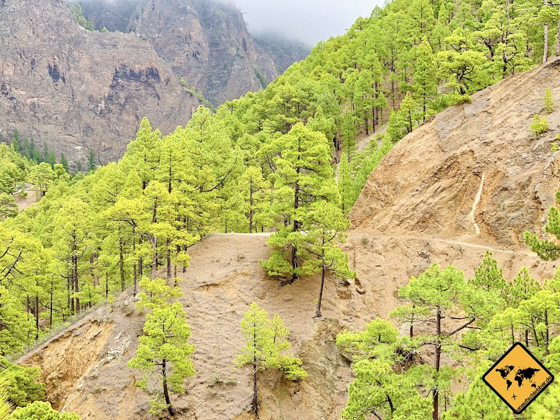 Grüne Kiefern La Palma Nationalpark Taburiente