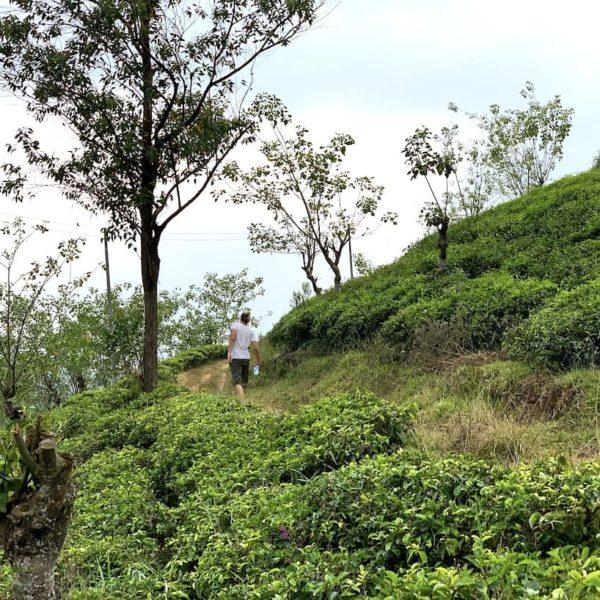 Hatton Teeplantagen Wanderung