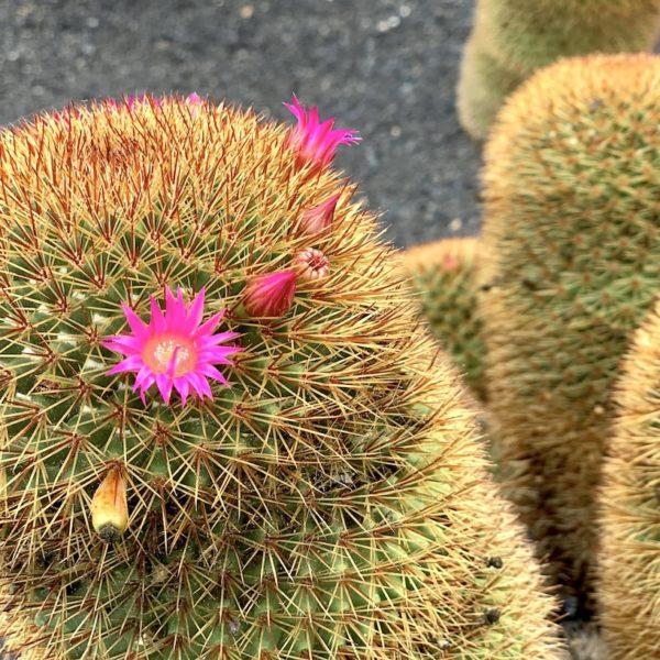 Jardín de Cactus Lanzarote Kaktus Blume